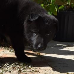 solid black german shepherd puppy in texas