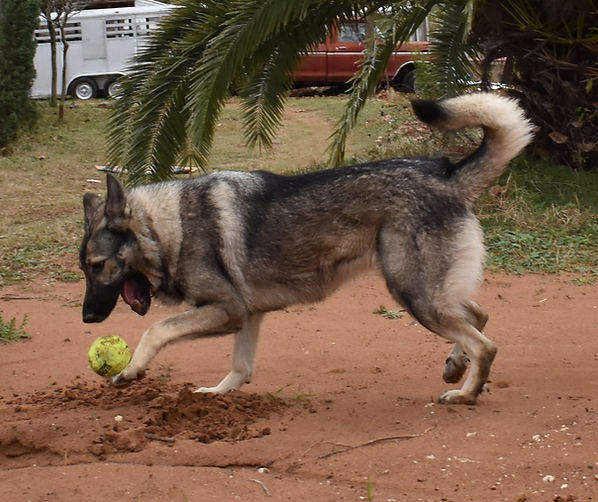 silver sable extra large german shepherd