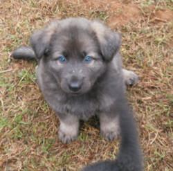 blue sable long coat german shepherd puppy for sale in Texas