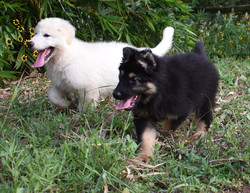 white long haired german shepherd puppy