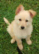 white champagne long coat german shepherd puppy for sale in tx