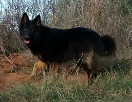 long coat bicolor german shepherd for sale in tx