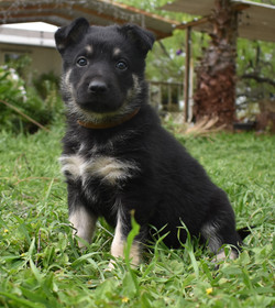 brown black and silver large german shepherd puppy for sale in tx