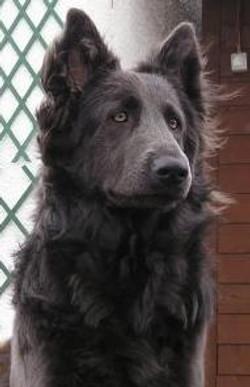 Solid blue long coat german shepherd-owner Fiona Gierus