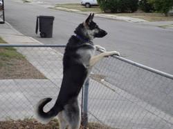 Axel 1 year black and silver german shepherd, wolfgang haus german shepherds.jpg