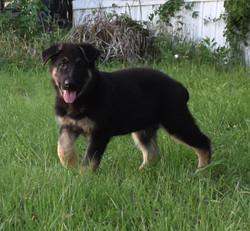 black and tan extra large german shepher