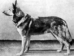 Luchs vom Kalsmunt Wetzlar 1908