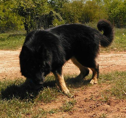 bicolor longcoated german shepherd