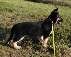 large black and cream male puppy 10 weeks.jpg