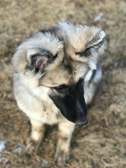Prada and Brahm female puppy 2017