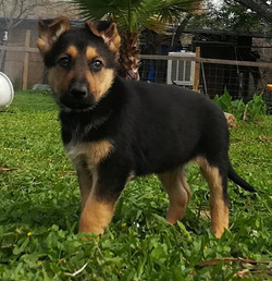 Veda and Ruger black and red male german shepherd puppy 7 weeks old