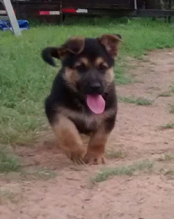 black and red giant german shepherd puppy for sale tx.jpg
