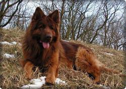 liver and red long coat german shepherd