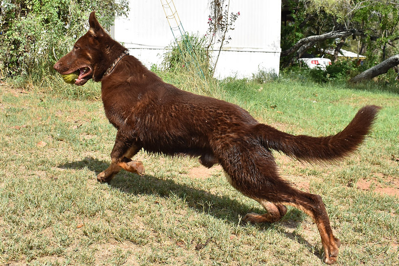 giant puppy chocolate liver german sheph