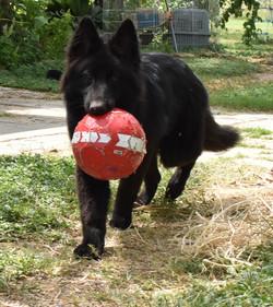 wolfgang haus solid black long coat german shepherd puppy for sale in tx