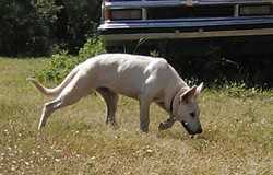 giant white german shepherd puppy, wolfgang haus german shepherds.jpg