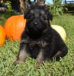 long coat black and tan german shepherd puppy, wolfgang haus german shepherd puppies