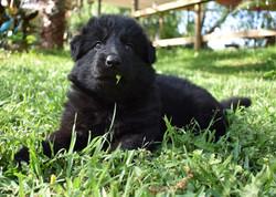 long coat large solid black german shepherd puppy for sale in tx