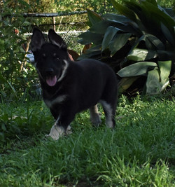 Roma and Hailock 9 week old male puppy, black and silver german shepherd puppy
