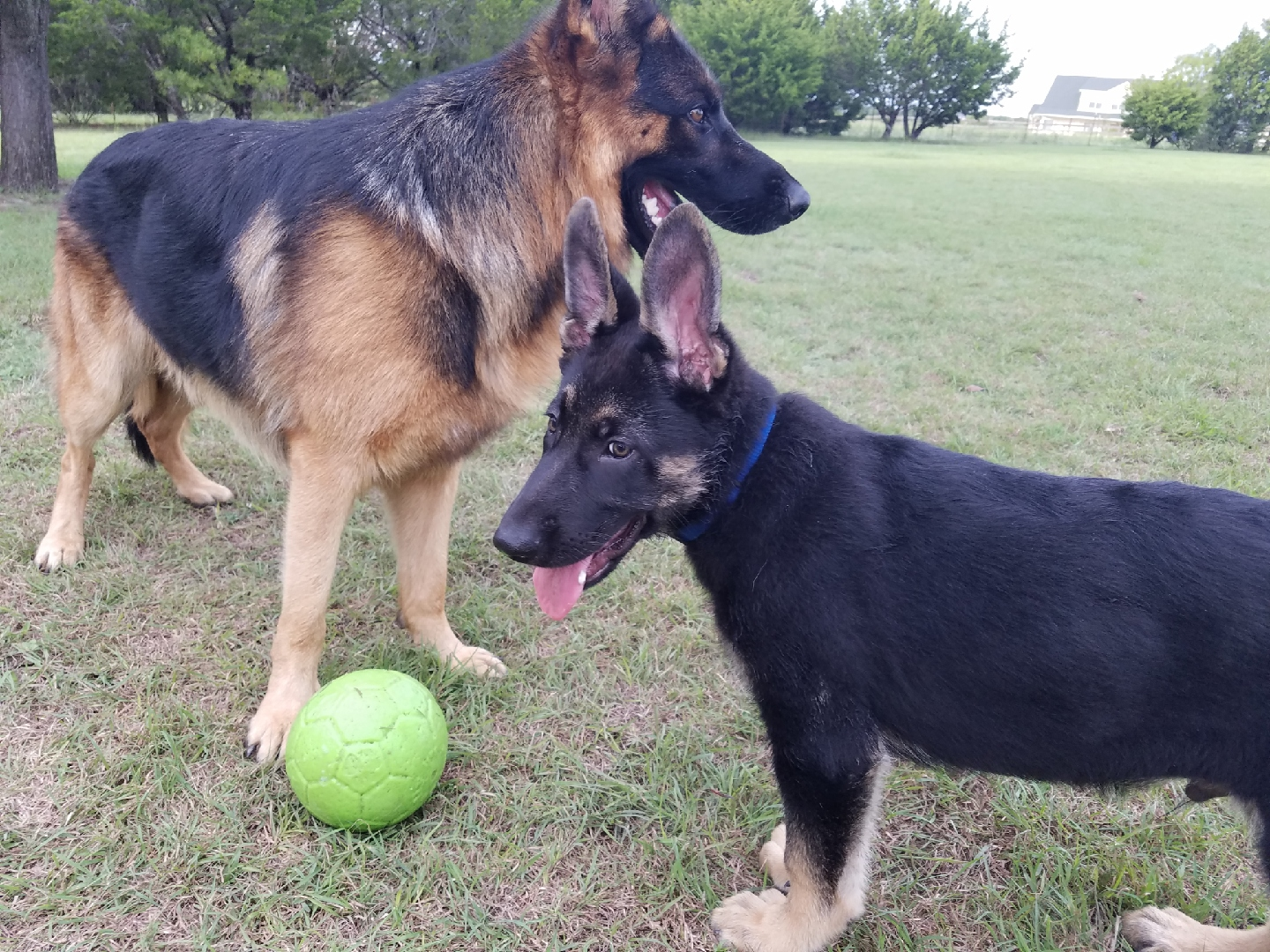 extra large german shepherd puppy (2)