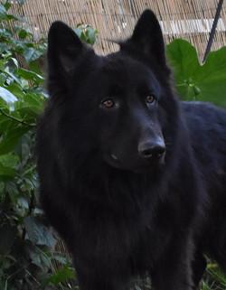 Solid black long coat large german shepherd