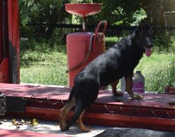 batman big bicolor boy german shepherd puppy