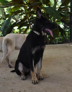 snake collar big extra large dark german shepherd puppy for sale (4)