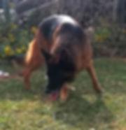 black and red german shepherd in texas (