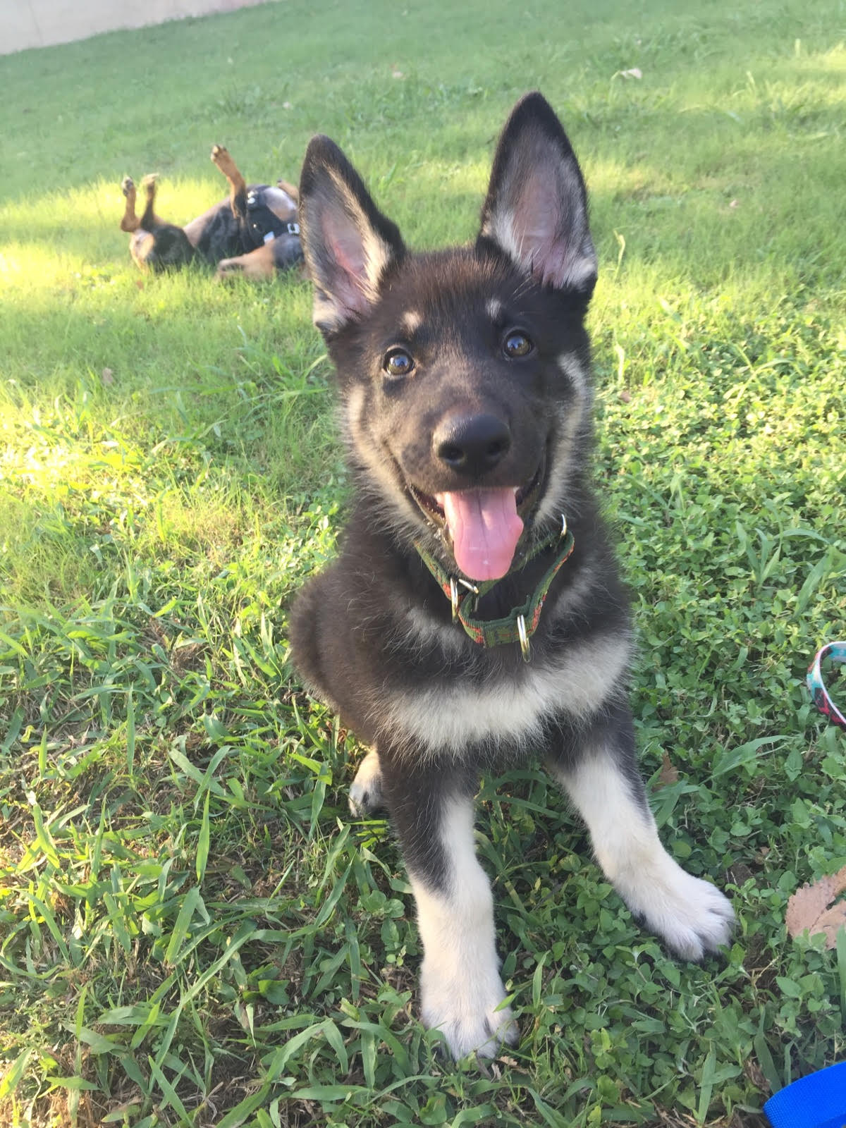 black and silver german shepherd
