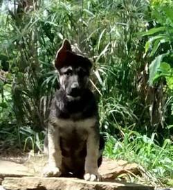 savannah and Hailock male black and silver giant german shepherd puppy