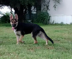 Bleau and Ruger male puppy 18 weeks black and tan german shepherd puppy