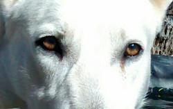 white giant german shepherd TX, wolfgang haus old fashioned german shepherds.jpg