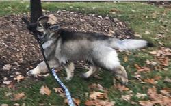 sable long coat german shepherd puppy