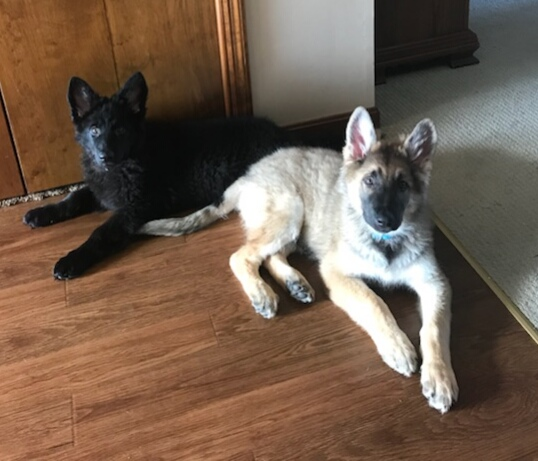 sable german shepherd long coat puppy