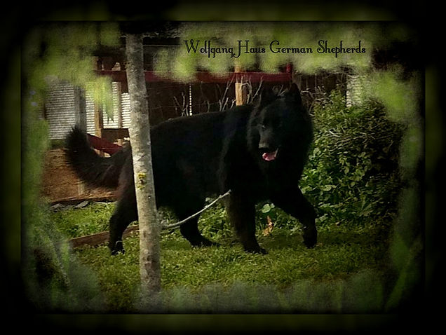 Solid black long coat german shepherd gr
