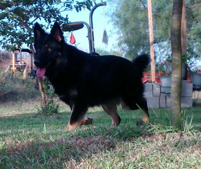 bi colored long coat german shepherd texas.jpg