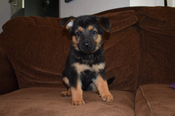 black and red german shepherd puppy for sale in san antonio tx