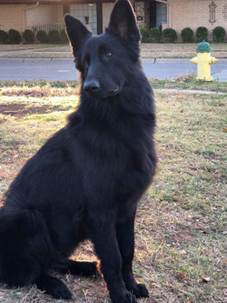 Brahm and Storm female pup 2017 litter almost 1 year old, solid black long coat german shepherd