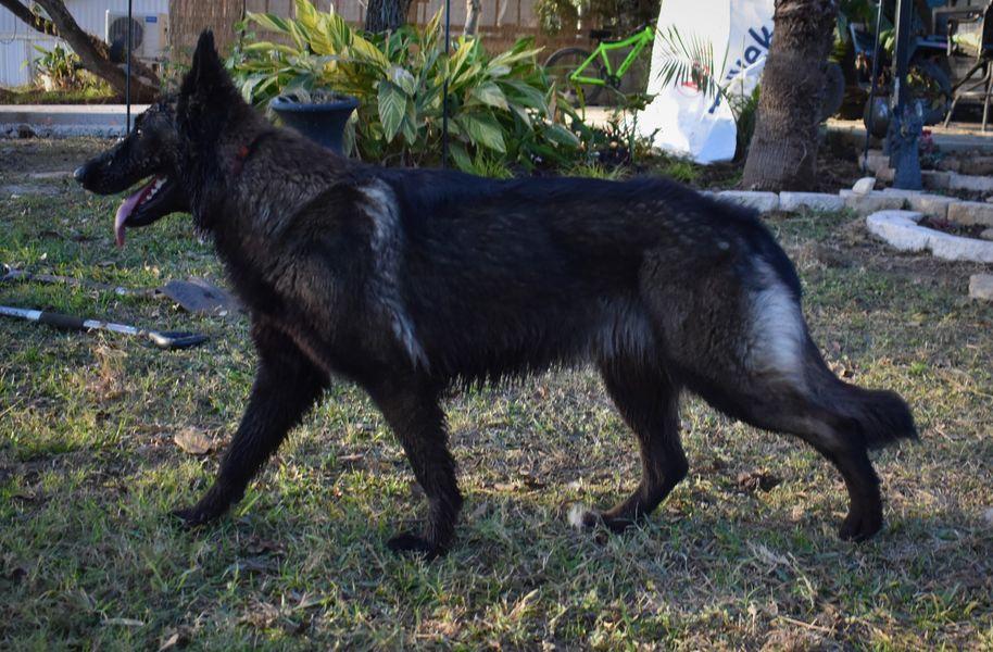 black sable long coat german shepherd ou
