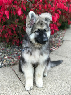 black and silver long coat large german shepherd puppy in tx, wolfgang haus german shepherds