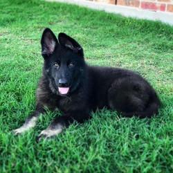bicolor giant german shepherd puppy in t