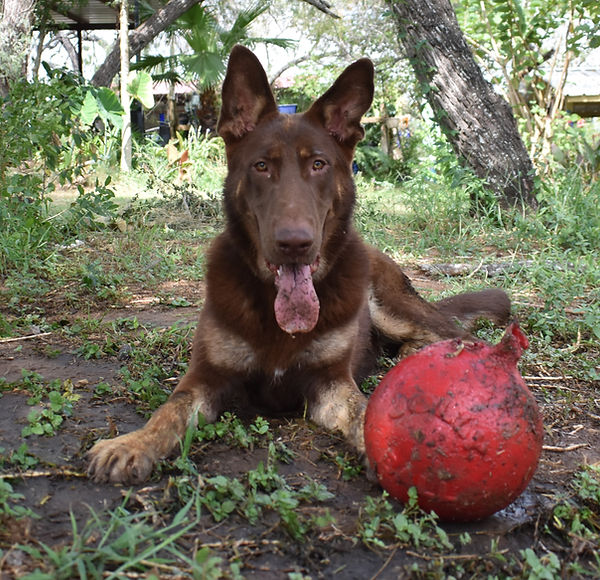 chocolate liver giant german shepherd pu