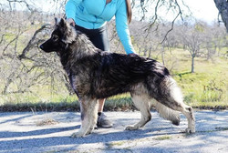large long haired black silver sable ger