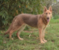 Bella large isabella german shepherd pup