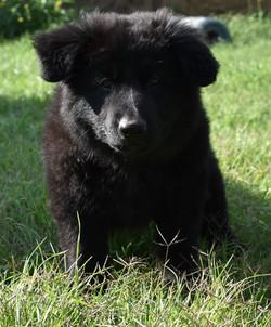 solid black long coat german shepherd puppy in texas
