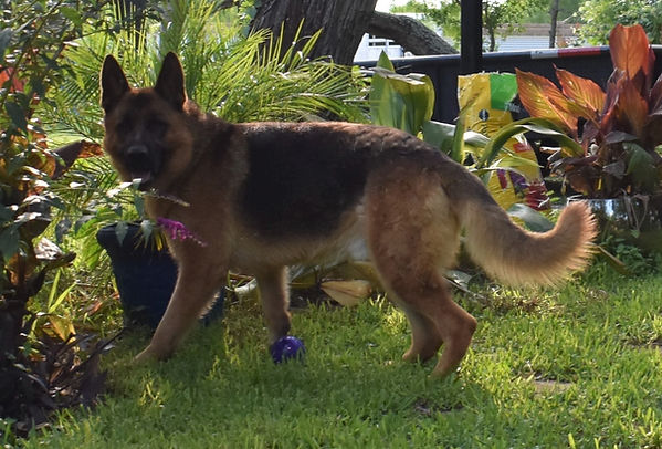 the rock giant black and red german shep