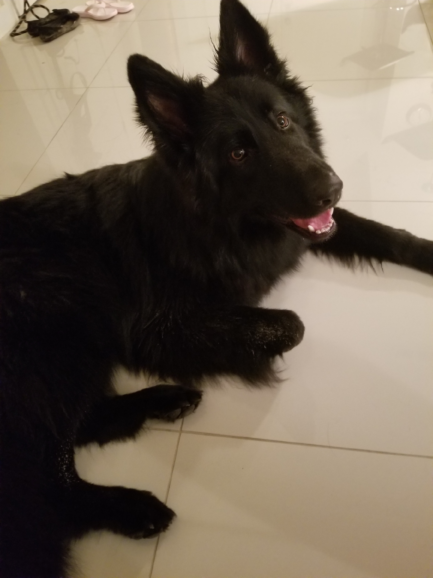 solid black long coat german shepherd
