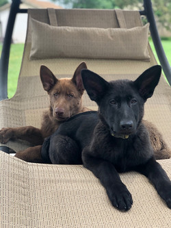 solid black and solid liver german sheph