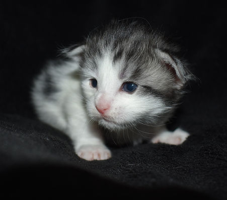 maine coon kitten for sale in texas