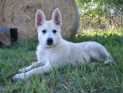 Roma and hailock, light silver sable large german shepherd puppy for sale in tx